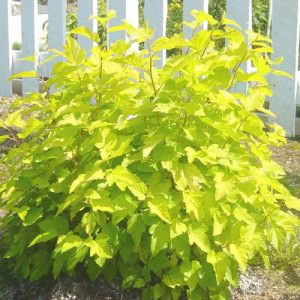 Bright yellow leaves on a tall bushy shrub