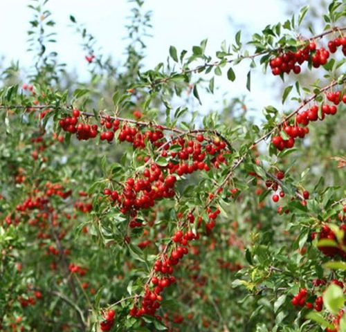 fruit you can grow - cherry tree with big red berries